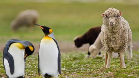 140316羊とコウテイペンギン@フォークランド諸島