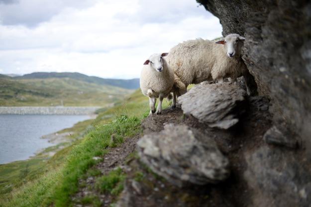 sheep-1076405_1920