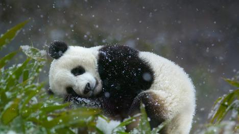 140923パンダの赤ちゃん@中国, 四川省