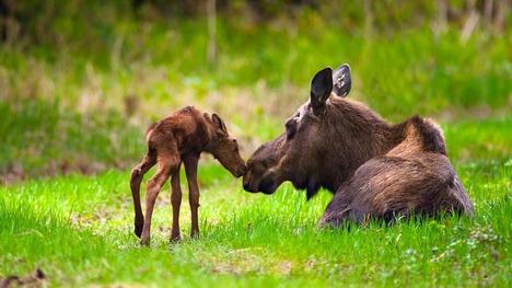 140511ヘラジカの母子@アメリカ アラスカ州
