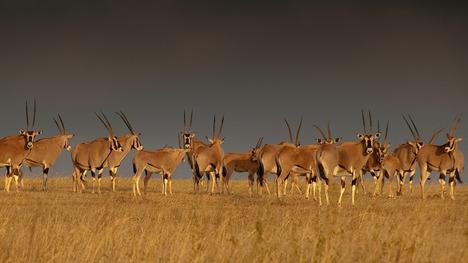 140506オリックスの群れ@ケニア ソリオ・ランチ