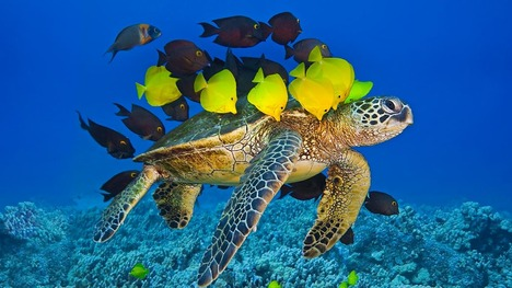 130523掃除をされるアオウミガメ@アメリカ ハワイ