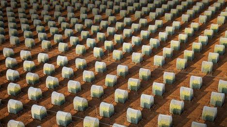 141101菜種の隔離栽培@ロワール=エ=シェール県