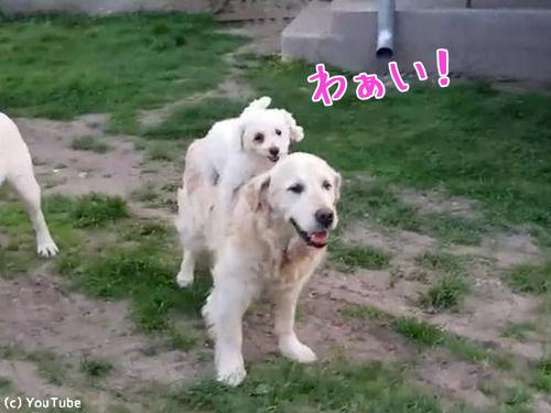 犬の背中に乗るのが大好きな子犬(動画)