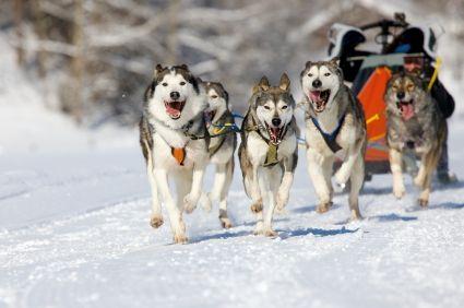 Istock Husky Pack dogs