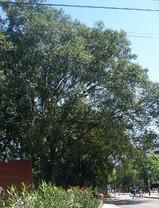 ナントカゴムの木