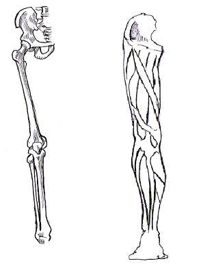 太もも周辺(骨・筋肉)