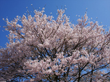 SA桜D09161_080412