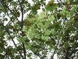 ギョイコウ花D1030_080416