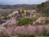 綿のような桜の花D09431_080412