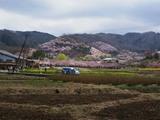 桜の山D09198_080412