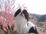 桃の花とD09508_080412