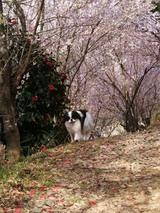 東海桜のアーチD09568_080412