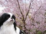 とうかい桜D09216_080412