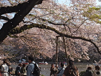 cherry_inokashira1