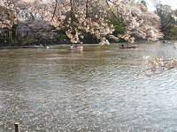 cherry_inokashira9
