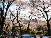 cherry_inokashira8