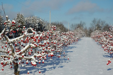 cidre in snow