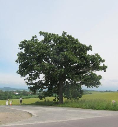 セブンスターの木 (1)
