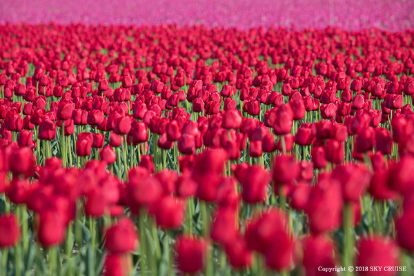 3-2018-04-28__tulip-01