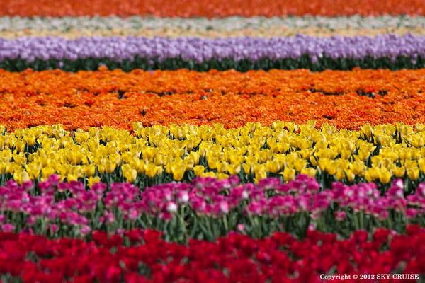 3-2012-05-01_tulip-30