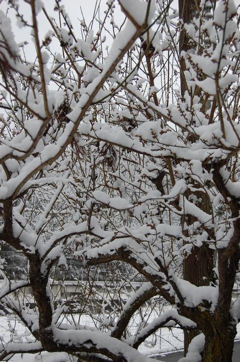 春の雪 001