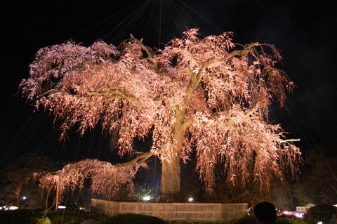 丸山公園 枝垂れ桜 001
