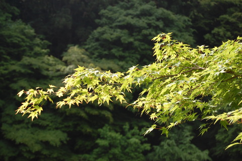 もみじ 卯の花 033