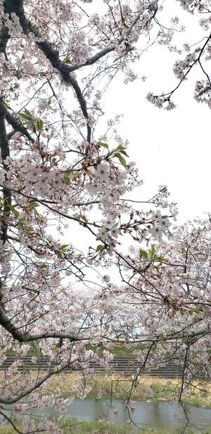 桜1.200411