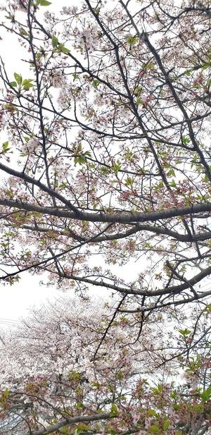 桜2.200411