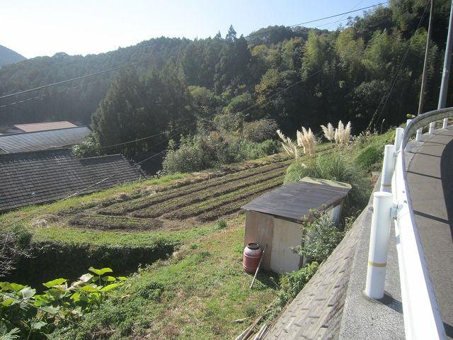 �播種から2週間後の小麦畑(遠景)