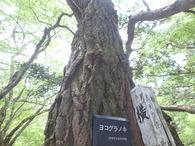 ヨコグラノキ基準木