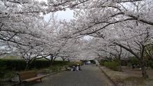 s-満開の桜