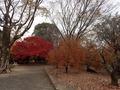 21PC115408カリンの樹も落ち着いた色に紅葉