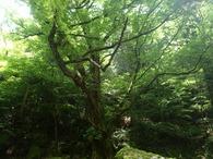 シオジの巨木