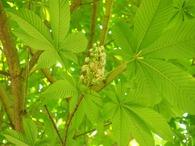 トチノキの花 (2)