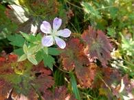 x-DSCN7397 イヨフウロの花と紅葉