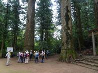 杉原神社の大杉