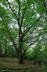 �トチノキ・森の巨人