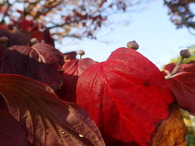 �PB135279ハナミズキ紅葉と花芽