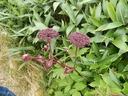 s-DSCN9357 ノダケの花の香→カラメル、ハチミツ・・・