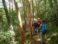 �ヒメシャラ並木