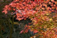 6.紅葉の彩り1