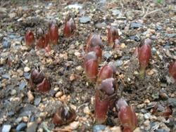 福寿草の芽