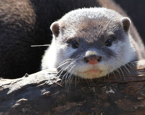 baby_otter