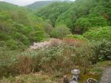 新緑と峰桜