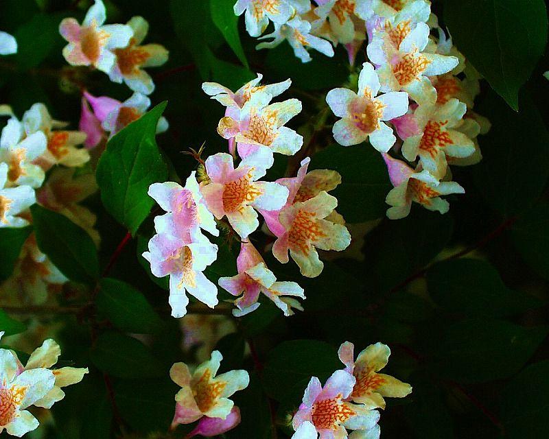 住吉卯の花