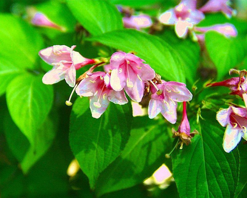 住吉卯の花ピンク
