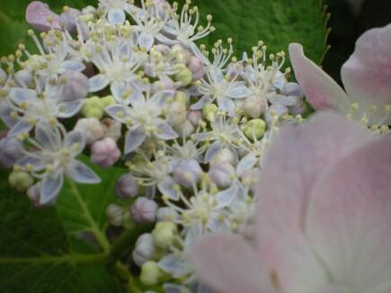 宝石紫陽花