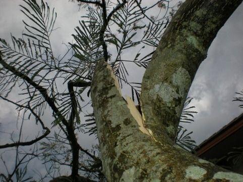 折れた合歓の木
